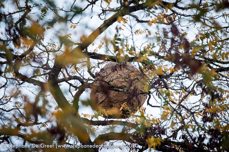 20201106 Destruction d'un nid de FA par SIAMIU à Uccle