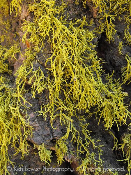 Wolf lichen detail