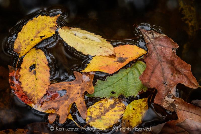 Floating leaf cluster
