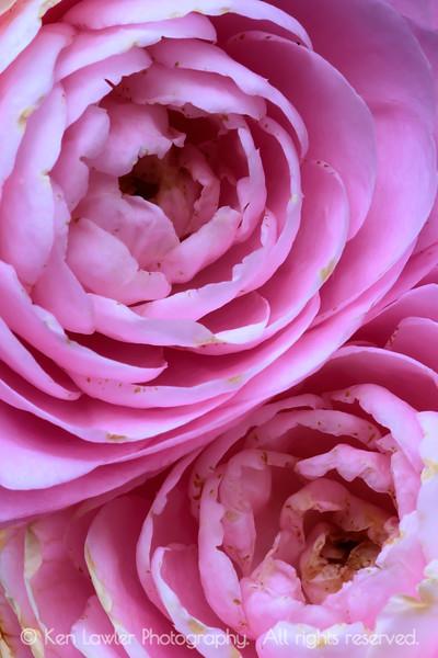 Camellia Twins