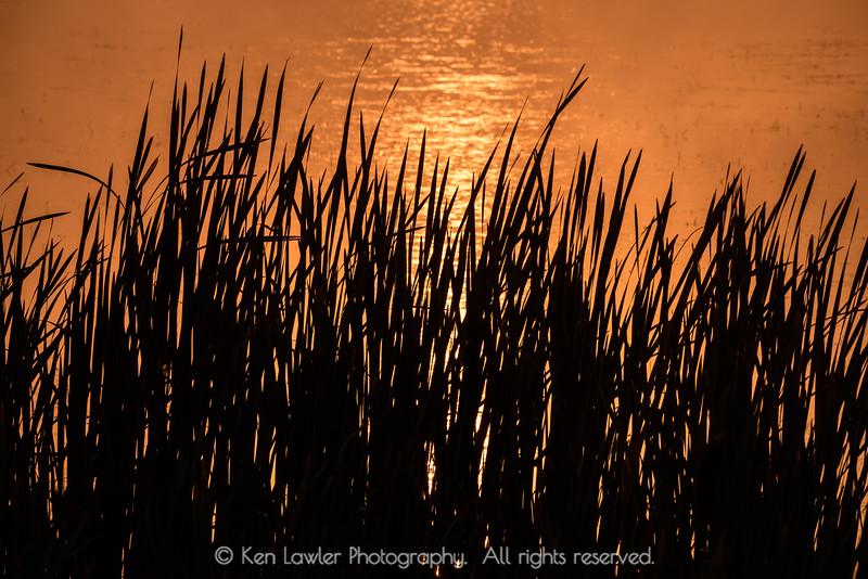 Grass silhoutte at sunrise
