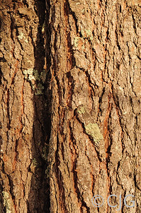 Pine tree bark.
