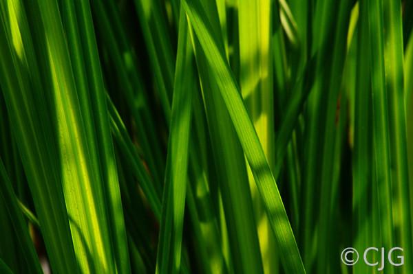 Swamp Grass & Sun