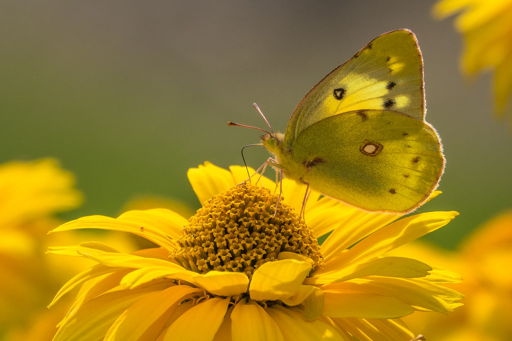 """INSECTS 01091<br /> <br /> """"Late Summer Visitor"""""""
