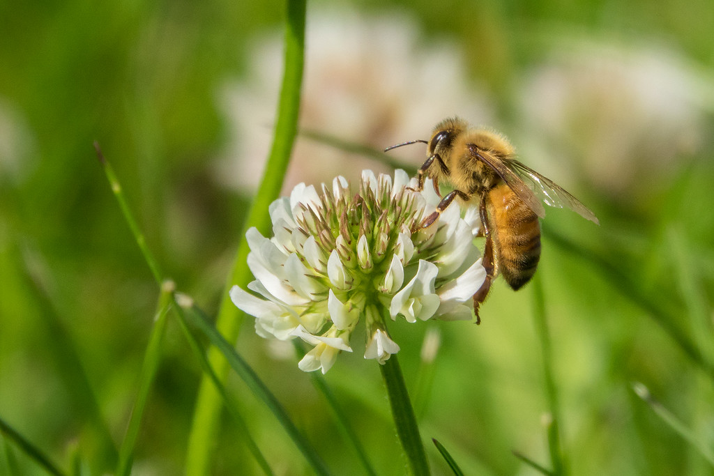 """INSECTS 00299<br /> <br /> """"Honey Bee on Clover"""""""