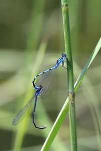 "INSECTS 0568  ""Mating Damselflies, Swamp River""  Cook County, MN"