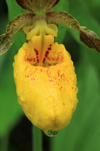 "MACRO 9622  ""Yellow Ladyslipper"""