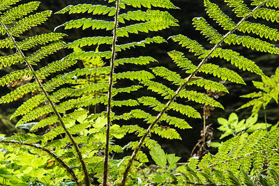 "MACRO 0439  ""Canyon Fern - Kadunce River Gorge""  Cook County, MN"