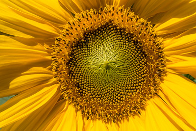 "MACRO 02078  ""Sunflower Fascination"""