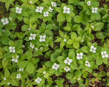 "MACRO 5817  ""Flowers of the forest floor""  Bunchberry plants along the Kadunce River trail just north of Grand Marais, MN."