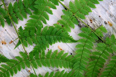 MACRO 0795  Fern on Birch