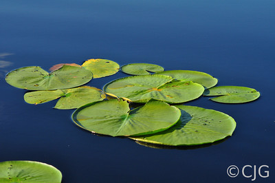 Lily pads on the blue.