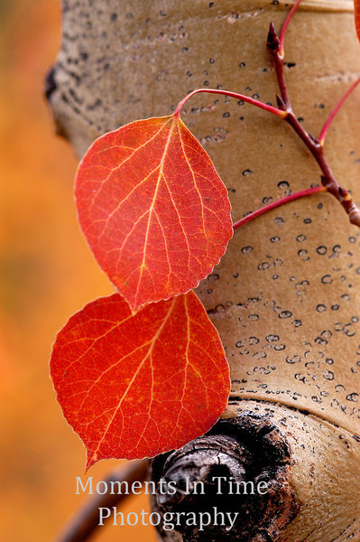 2 red aspen leaves bright