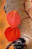 2 red aspen leaves bright