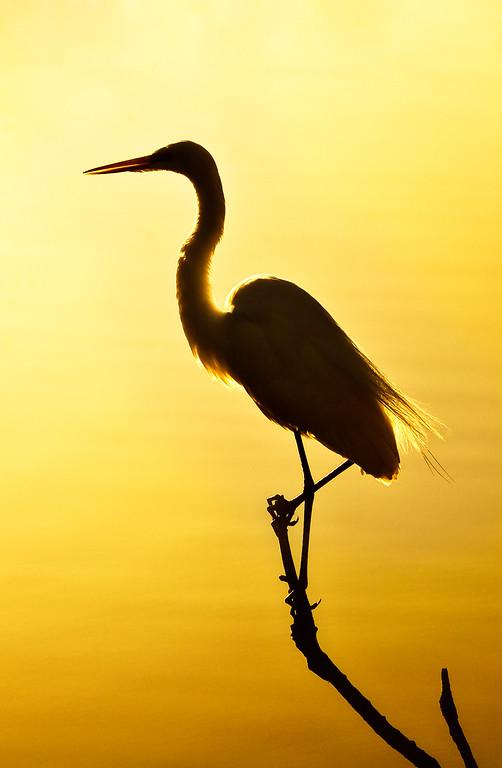 Great Egret - Varina Patel