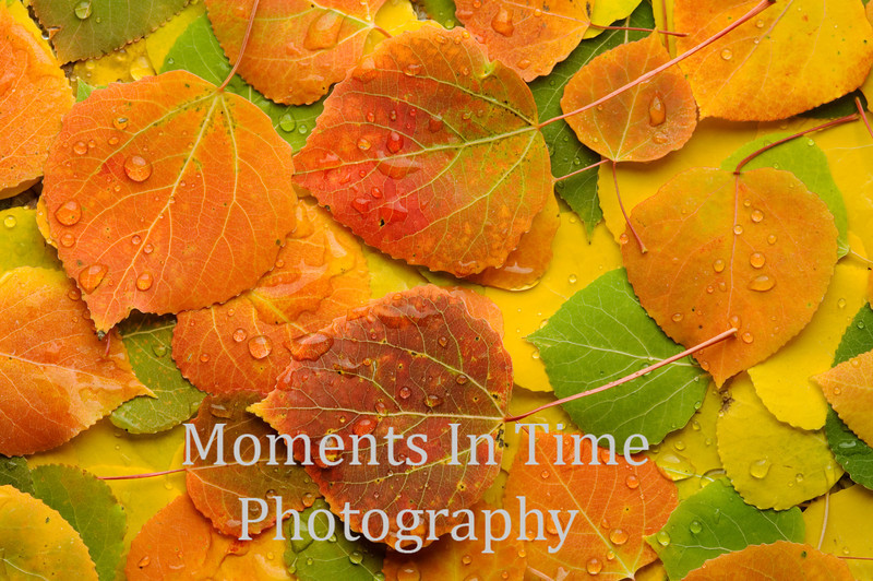 Mujlti aspen leaves