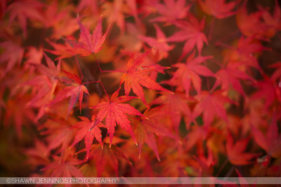 What's red all over? A Japanese Maple tree in the fall. :)