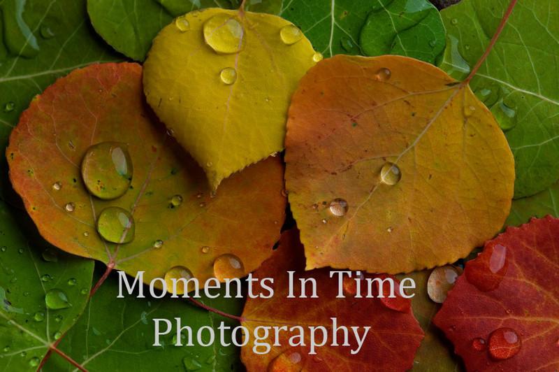 college 5 aspen leaves