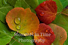 collage 3 aspen leaves