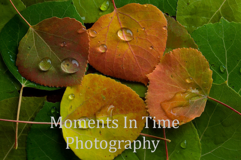 collage 4 aspen leaves