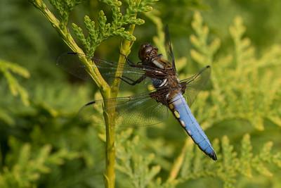 Dragonfly / Libellula depressa