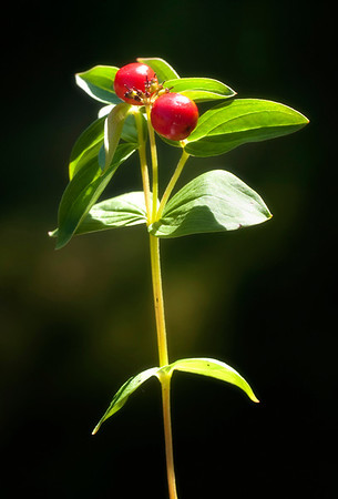 """Tror dette er bær av typen som vi kalte """"Hønsebær"""". (Vennligst send en e-post hvis det er en annen art.)"""
