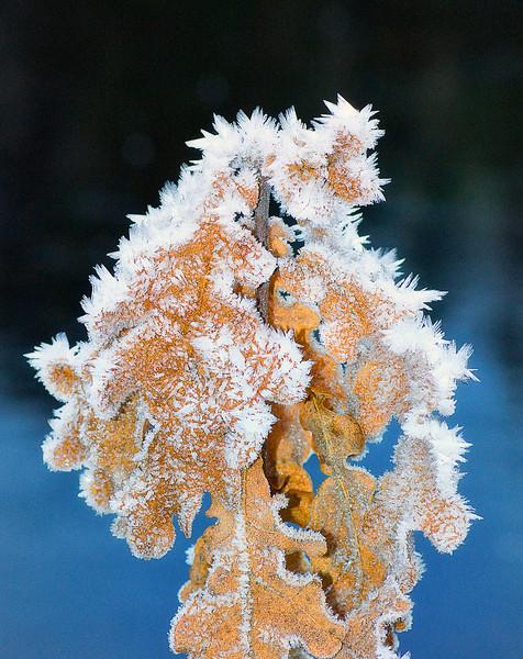 Iskrystaller på eikeblader.