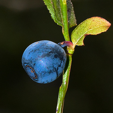 Bilde av blåbær, tatt med blits.