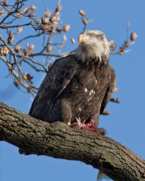 Balding Eagle