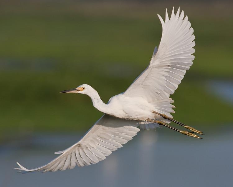 Snowy Egret Extended