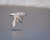 Piping Plover Flyby