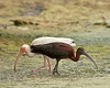 Glossy and White Ibis