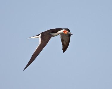 Black Skimmer Flyby