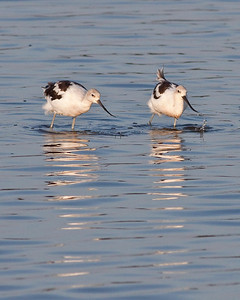 A pair of Avocets