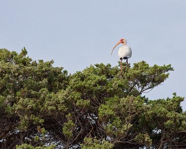 A solitary White Ibis