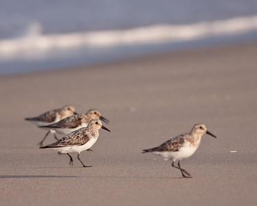 Several Sanderlings
