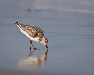 Sanderling - Winter Plumage