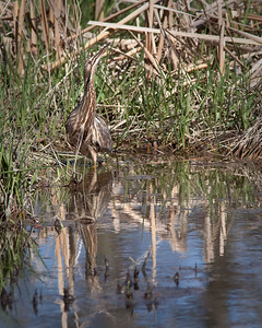 A Bittern Reflection