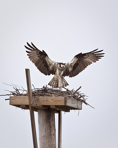 Spread Eagle....Or in This Case Osprey