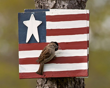 Patriotic House Sparrow