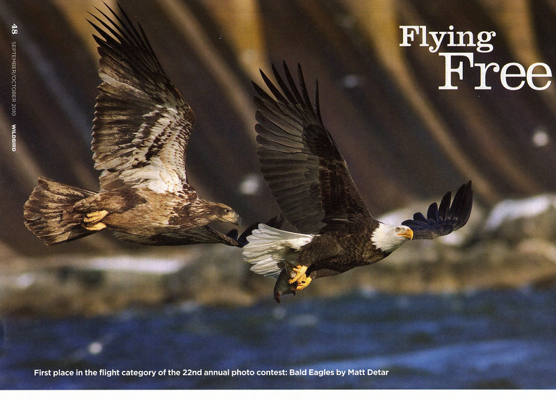 Published in the September/October 2010 issue of WildBird magazine.  This photo won first prize in the flight category of the magazine's annual bird photography contest and was featured as a full page photo.