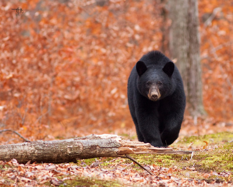 This photo of an American Black Bear appears in the Sept/Oct 2011 issue of Pennsylvania Magazine.  The image takes up over a page on the inside cover, adjacent to the table of contents.
