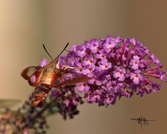 Moth - Middle Creek