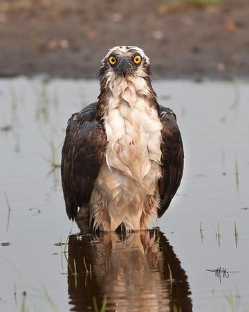 Osprey taking a bath