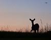 Morning Doe at Big Meadow