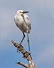 Snowy Egret and Bombay Hook