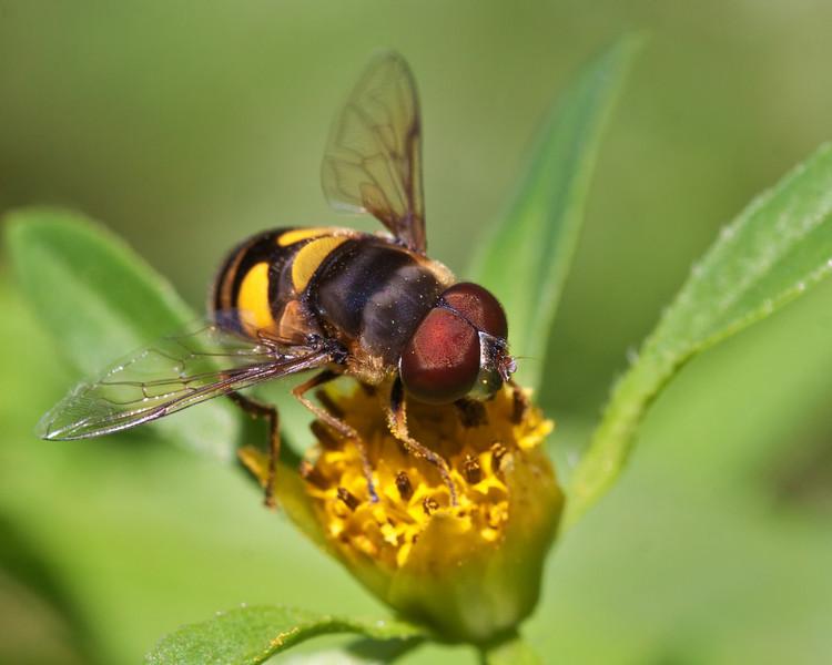 Eristalis Transversa - Bee Mimic