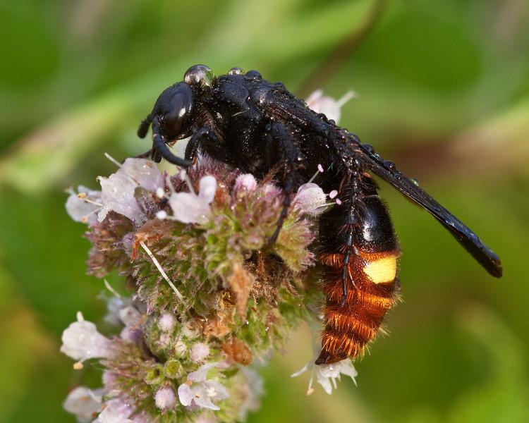 Scolia dubia - Scoliid Wasp