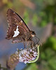 One spot skipper and an inch worm from a Geometer Moth