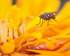A little fly on a yellow zinnia